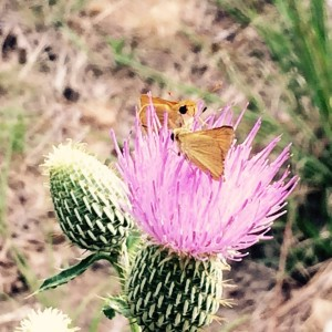 butterflythistle15