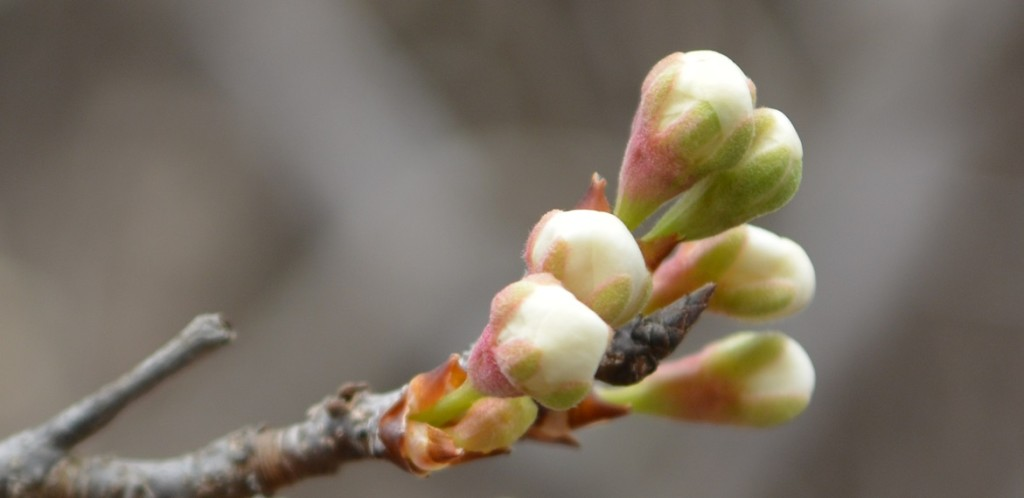 Early Buds 2
